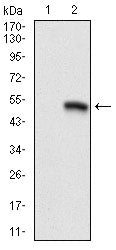 Figure 1: Western blot analysis using CD9 mAb against HEK293 (1) and CD9(AA: 37-228)-hIgGFc transfected HEK293 (2) cell lysate.