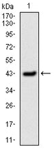 Figure 1: Western blot analysis using SERPINE1 mAb against human SERPINE1 (AA: 194-316) recombinant protein. (Expected MW is 45kDa kDa)