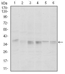 Mouse Monoclonal Antibody to PPP1CA