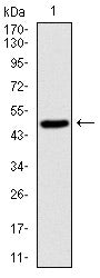 Figure 1: Western blot analysis using SKP1 mAb against human SKP1 (AA: 1-160) recombinant protein. (Expected MW is 50 kDa)