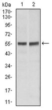 Figure 1: Western blot analysis using FAS mouse mAb against Hela (1), Jurkat (2) cell lysate.