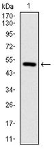 Figure 1: Western blot analysis using ITGB1 mAb against human ITGB1 (AA: 50-270) recombinant protein. (Expected MW is 50.6 kDa)