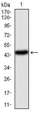Figure 1: Western blot analysis using PIK3CA mAb against human PIK3CA (AA: 881-1068) recombinant protein. (Expected MW is 47.4 kDa)