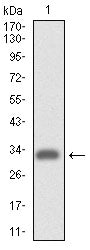 Figure 1: Western blot analysis using ITGA4 mAb against human ITGA4 (AA: 926-978) recombinant protein. (Expected MW is 31.7 kDa)