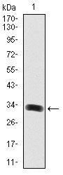 Figure 1: Western blot analysis using GAB1 mAb against human GAB1 (AA: 661-724) recombinant protein. (Expected MW is 32.4 kDa)