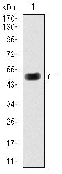 Figure 1: Western blot analysis using PRKACG mAb against human PRKACG (AA: 164-351) recombinant protein. (Expected MW is 47.1 kDa)
