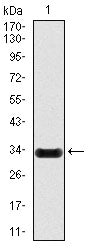 Figure 1: Western blot analysis using NOS2 mAb against human NOS2 (AA: 997-1058) recombinant protein. (Expected MW is 32.6 kDa)