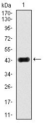 Figure 1: Western blot analysis using MAPK8 mAb against human MAPK8 (AA: 227-380) recombinant protein. (Expected MW is 43.4 kDa)