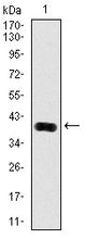 Figure 1: Western blot analysis using KLK3 mAb against human KLK3 (AA: 109-216) recombinant protein. (Expected MW is 37.2 kDa)