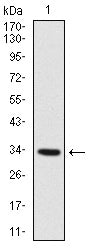 Figure 1: Western blot analysis using MYF6 mAb against human MYF6 recombinant protein. (Expected MW is 33.4 kDa)