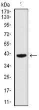 Figure 1: Western blot analysis using PAX5 mAb against human PAX5 recombinant protein. (Expected MW is 41.2 kDa)