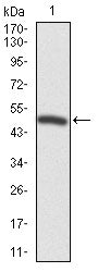 Figure 1: Western blot analysis using FOXP1 mAb against human FOXP1 recombinant protein. (Expected MW is 47.7 kDa)