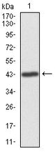 Figure 1: Western blot analysis using ILK mAb against human ILK recombinant protein. (Expected MW is 42.7 kDa)
