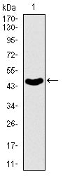 Figure 1: Western blot analysis using ABCB5 mAb against human ABCB5 recombinant protein. (Expected MW is 47 kDa)
