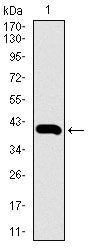 Figure 1: Western blot analysis using SLC2A4 mAb against human SLC2A4 recombinant protein. (Expected MW is 39.9 kDa)