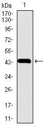 Figure 1: Western blot analysis using CHGA mAb against human CHGA recombinant protein. (Expected MW is 43.6 kDa)