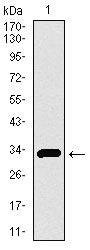 Figure 1: Western blot analysis using SLC27A5 mAb against human SLC27A5 recombinant protein. (Expected MW is 32.9 kDa)