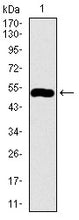 Figure 1: Western blot analysis using C17ORF53 mAb against human C17ORF53 recombinant protein. (Expected MW is 51.9 kDa)