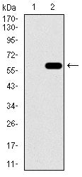 Mouse Monoclonal Antibody to C17ORF53