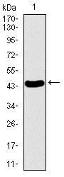 Figure 1: Western blot analysis using PDE1B mAb against human PDE1B recombinant protein. (Expected MW is 44.4 kDa)