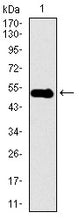 Figure 1: Western blot analysis using DCTN4 mAb against human DCTN4 recombinant protein. (Expected MW is 53.2 kDa)