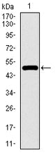 Figure 1: Western blot analysis using TP53BP1 mAb against human TP53BP1 recombinant protein. (Expected MW is 47.6 kDa)