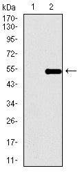 Mouse Monoclonal Antibody to TP53BP1
