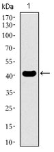 Figure 1: Western blot analysis using KLF1 mAb against human KLF1 recombinant protein. (Expected MW is 42.6 kDa)