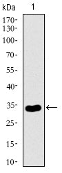 Figure 1: Western blot analysis using NRCAM mAb against human NRCAM recombinant protein. (Expected MW is 32.7 kDa)