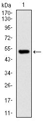 Figure 1: Western blot analysis using PHC1 mAb against human PHC1 recombinant protein. (Expected MW is 52.8 kDa)