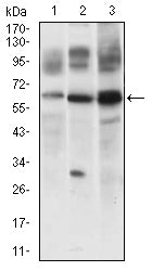 Mouse Monoclonal Antibody to CFLAR