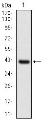 Figure 1: Western blot analysis using NAPSA mAb against human NAPSA recombinant protein. (Expected MW is 40.9 kDa)