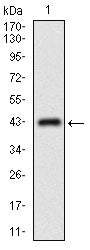 Figure 1: Western blot analysis using ABCC4 mAb against human ABCC4 recombinant protein. (Expected MW is 32.4 kDa)