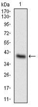 Figure 1: Western blot analysis using ONECUT3 mAb against human ONECUT3 recombinant protein. (Expected MW is 38.2 kDa)