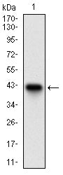 Figure 1: Western blot analysis using ACP5 mAb against human ACP5 recombinant protein. (Expected MW is 37.3 kDa)