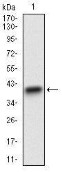 Figure 1: Western blot analysis using CD22 mAb against human CD22 recombinant protein. (Expected MW is 37 kDa)