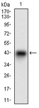 Figure 1: Western blot analysis using SYCP3 mAb against human SYCP3 recombinant protein. (Expected MW is 37.2 kDa)