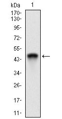 Figure 1: Western blot analysis using Ring1 mAb against human Ring1 recombinant protein. (Expected MW is 44.6 kDa)