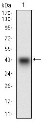 Figure 1: Western blot analysis using PON1 mAb against human PON1 recombinant protein. (Expected MW is 40.6 kDa)