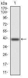 Mouse Monoclonal Antibody to KCND2