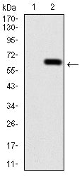 Figure 1:Western blot analysis using CALB2 mAb against HEK293 (1) and CALB2 (AA: 1-271)-hIgGFc transfected HEK293 (2) cell lysate.