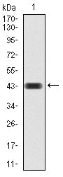 Mouse Monoclonal Antibody to CBX4