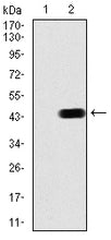 Figure 1:Western blot analysis using CBX6 mAb against HEK293 (1) and CBX6 (AA: 269-412)-hIgGFc transfected HEK293 (2) cell lysate.