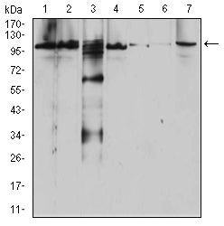 Figure 1:Western blot analysis using RAB11FIP1 mouse mAb against Raji (1), SW620 (2), A431 (3), SW480 (4), HepG2 (5), Hela (6), and NIH3T3 (7) cell lysate.