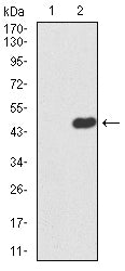 Figure 1:Western blot analysis using ERCC1 mAb against HEK293 (1) and ERCC1 (AA: 151-297)-hIgGFc transfected HEK293 (2) cell lysate.