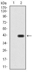 Figure 1:Western blot analysis using GAD2 mAb against HEK293 (1) and GAD2 (AA: 1-100)-hIgGFc transfected HEK293 (2) cell lysate.