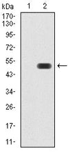 Figure 1:Western blot analysis using ATF3 mAb against HEK293 (1) and ATF3 (AA: 1-181)-hIgGFc transfected HEK293 (2) cell lysate.