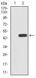 Figure 1:Western blot analysis using LGR5 mAb against HEK293 (1) and LGR5 (AA: 22-178)-hIgGFc transfected HEK293 (2) cell lysate.
