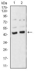 Figure 1:Western blot analysis using BMP4 mouse mAb against A549 (1) and C6 (2) cell lysate.