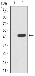 Figure 1:Western blot analysis using SIRT3 mAb against HEK293 (1) and SIRT3 (AA: 155-290)-hIgGFc transfected HEK293 (2) cell lysate.